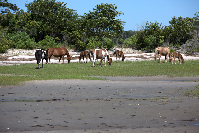 how to see the chincoteague ponies